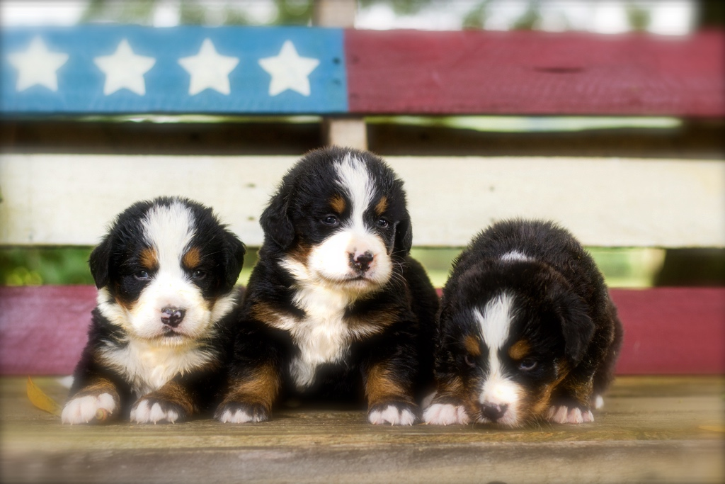 Bernese Mountain Dog Training Canines