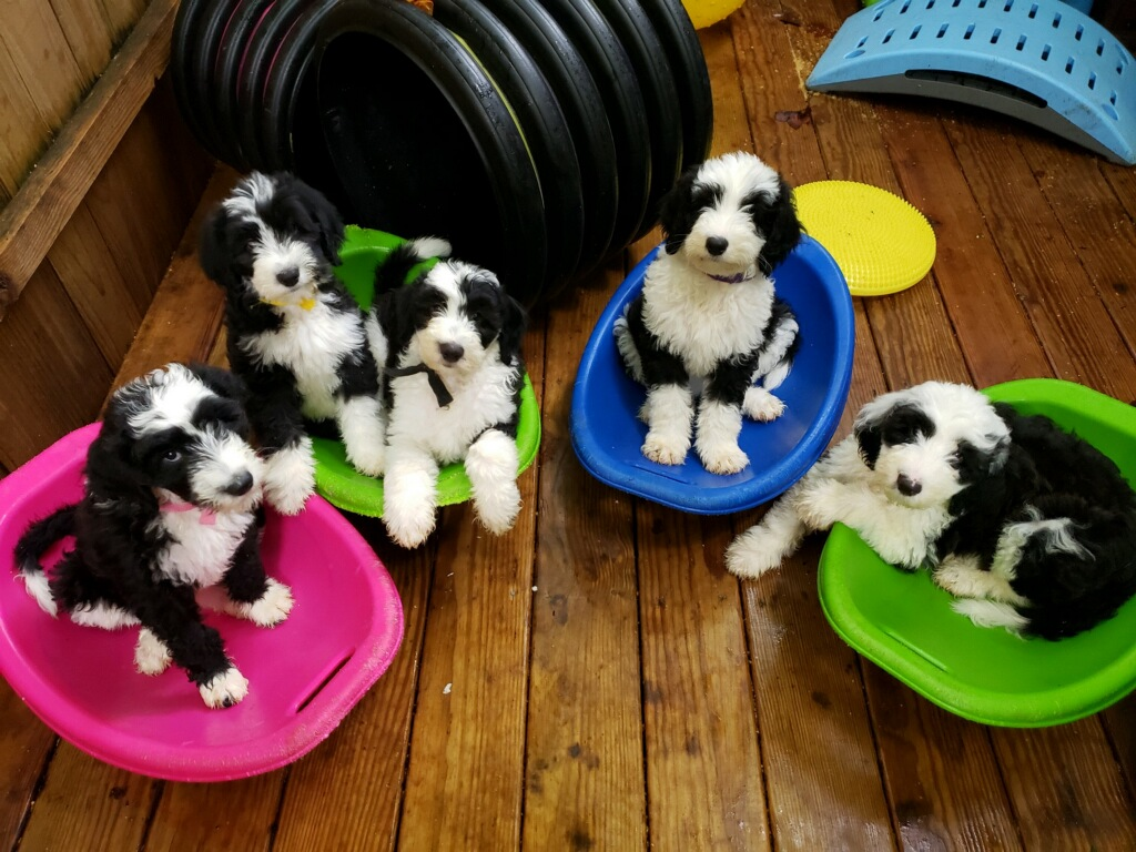 Available Trained Sheepadoodle Puppies - Training Canines